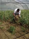 Dès le mois de juin, les récoltes des plants de base sont réalisés manuellement dans les tunnels de production.